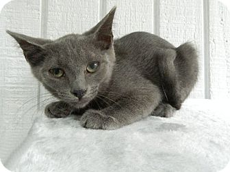 Domestic Shorthair Cat for adoption in The Colony, Texas - Moira