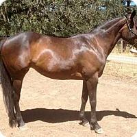 Quarterhorse/Thoroughbred Mix for adoption in Santa Rosa, California - Callie