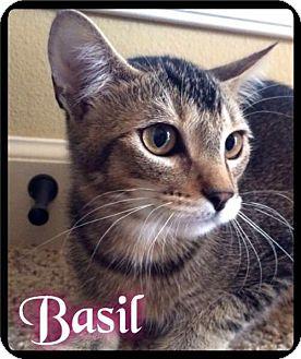 Domestic Shorthair Kitten for adoption in Maumelle, Arkansas - Basil - Foster 2015