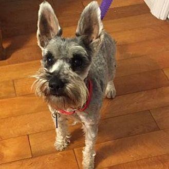 Schnauzer (Miniature) Dog for adoption in Redondo Beach, California - Carly