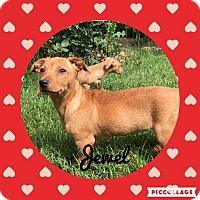 Adopt A Pet :: Jewel - Livermore, CA