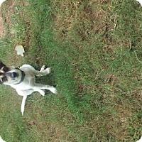 Adopt A Pet :: Layla - Rowayton, CT