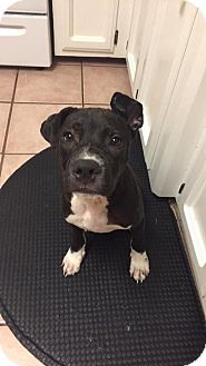 American Pit Bull Terrier Puppy for adoption in Baton Rouge, Louisiana - Chandler Bing