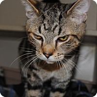 Domestic Shorthair Cat for adoption in Ridgeland, South Carolina - Spade