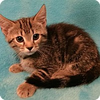 Domestic Shorthair Kitten for adoption in Grove City, Ohio - Roxie