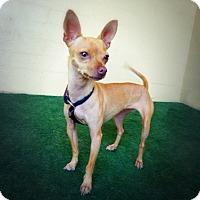 Adopt A Pet :: Talia - Casa Grande, AZ