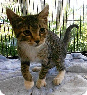 Domestic Shorthair Kitten for adoption in Lauderhill, Florida - Roscoe