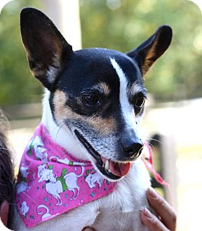 Rat Terrier Mix Dog for adoption in West Grove, Pennsylvania - Lucy