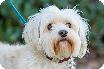 Westie, West Highland White Terrier/Poodle (Miniature) Mix Dog for adoption in San Diego, California - Walt