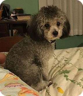 Poodle (Miniature) Dog for adoption in Allentown, Pennsylvania - Mr Gibbs (RBF)