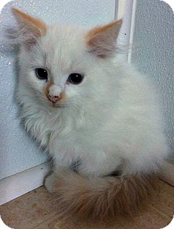 Domestic Mediumhair Kitten for adoption in Jefferson, North Carolina - Oswald