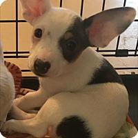 Adopt A Pet :: Gibbs - Las Vegas, NV