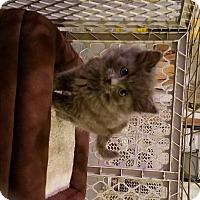 Adopt A Pet :: Donovan - Geneseo, IL