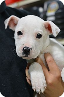 American Bulldog Mix Puppy for adoption in Fort Collins, Colorado - Baby Spice (FORT COLLINS)