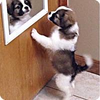 Adopt A Pet :: Cookie - E. Greenwhich, RI