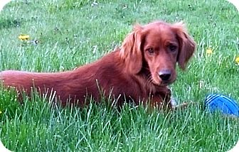 Golden Retriever Mix Dog for adoption in New Canaan, Connecticut - Myia