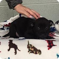 Adopt A Pet :: Jack Daniels - Plainfield, CT