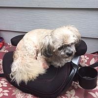 Adopt A Pet :: Shazam Davis - Houston, TX