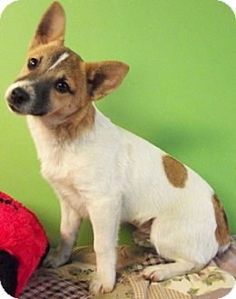 terrier corgi mix warsteiner adopted puppy struthers oh rat terrier 3595