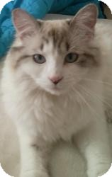 Ragdoll Cat for adoption in Ennis, Texas - Hopi (Indiana area only)