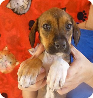 Beagle Mix Puppy for adoption in Oviedo, Florida - Brianna
