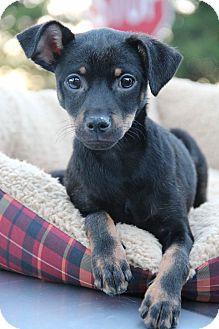 Chihuahua/Dachshund Mix Dog for adoption in Yuba City, California - Rex