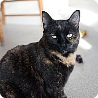 Domestic Shorthair Cat for adoption in Chicago, Illinois - Hallie