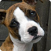 Adopt A Pet :: Karma - Monteregie, QC