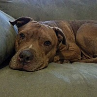 American Staffordshire Terrier Dog for adoption in Somerville, Texas - Bella