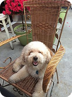 Poodle (Miniature)/Bichon Frise Mix Dog for adoption in Los Angeles, California - Mochi