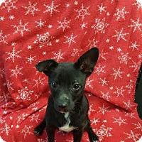 Adopt A Pet :: Pepe meet me 11/20 - East Hartford, CT