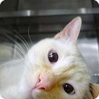 Adopt A Pet :: Stevie - New York, NY