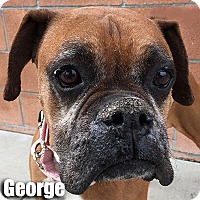 Adopt A Pet :: George - Encino, CA