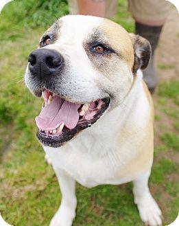 Anatolian Shepherd/Great Pyrenees Mix Dog for adoption in Iola, Texas - Tanner