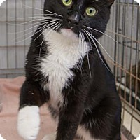 Adopt A Pet :: Sox - Merrifield, VA