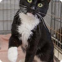 Adopt A Pet :: Sox - Merrifield, VA