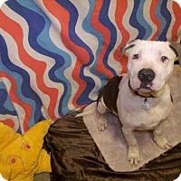 Adopt A Pet :: BRUNO - Upper Marlboro, MD