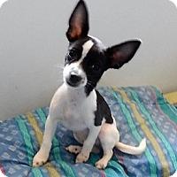 Adopt A Pet :: Spot - Studio City, CA