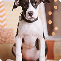 Adopt A Pet :: Boppity - Portland, OR