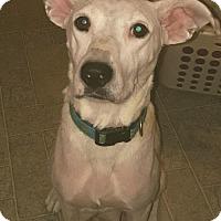 Adopt A Pet :: Charolette - Mechanicsburg, PA