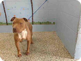 Pit Bull Terrier Mix Dog for adoption in San Bernardino, California - URGENT on 8/6 SAN BERNARDINO