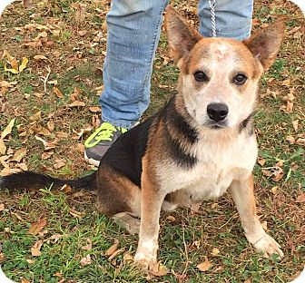 Australian Cattle Dog Mix Dog for adoption in Texico, Illinois - Rudy - Very Cute