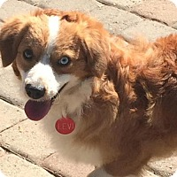Australian Shepherd Mix Dog for adoption in Penngrove, California - Levi