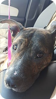 Australian Cattle Dog/American Staffordshire Terrier Mix Dog for adoption in Jacksonville Beach, Florida - Maggie