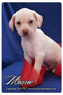 Dachshund Mix Puppy for adoption in Simi Valley, California - Monroe