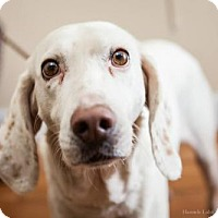 Adopt A Pet :: Luke - Washington, DC