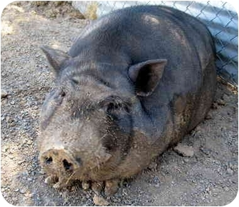 Pig (Potbellied) for adoption in Las Vegas, Nevada - Harley
