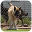 Photo 1 - Akita/German Shepherd Dog Mix Dog for adoption in Barron, Wisconsin - Axle