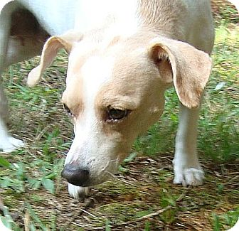 Chihuahua/Whippet Mix Dog for adoption in Hagerstown, Maryland - CheeWaaWaa(CR)