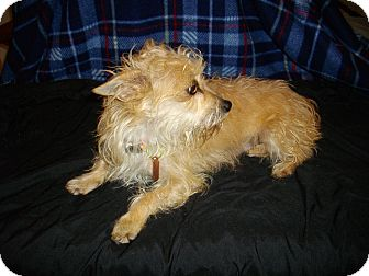 Terrier (Unknown Type, Small) Mix Dog for adoption in Sheridan, Oregon - Buttercup
